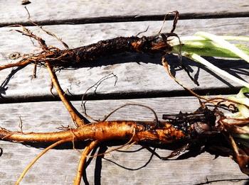 Ванна с отваром из корней чернокорня